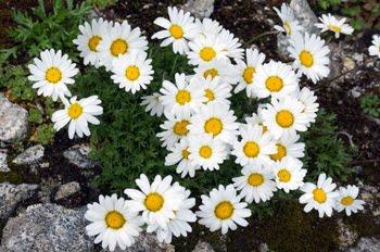 Argyranthemum frutescens (Margherita delle Canarie)