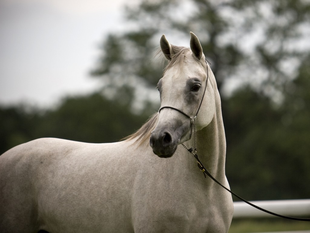 Hd animals wallpapers beautiful white arabian horse - Arabian horse pictures ...