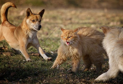 Brave Cat vs Dogs Seen On www.coolpicturegallery.us