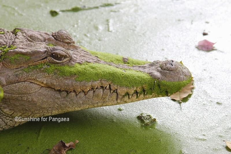 Head of a Nile Crocodile