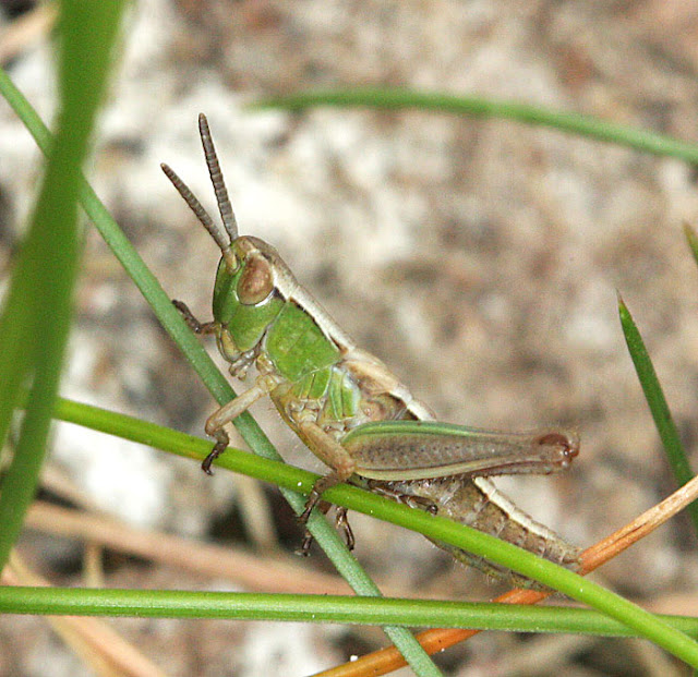 Meadow grasshopper, Chorthippus parallelus, in a grassy clearing in the woods on Hayes Common, 17 May 2011.