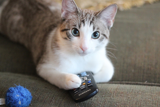 cat holds tv remote, funny cat photos