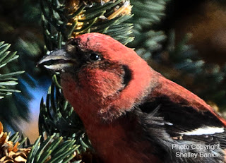 Male White-winged Crossbill. photo © Shelley Banks, all rights reserved.