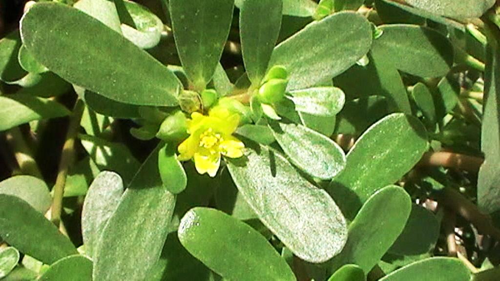 Fotos De Flores Medicinales - Plantas medicinales en México Me lo dijo Lola
