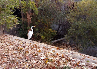 Great Egret perched above Stevens Creek