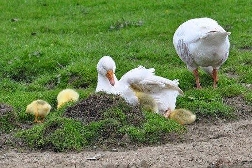Adult Embden geese with goslings