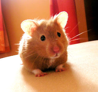 Funny Golden Syrian Hamsters