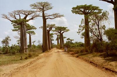 Avenida dos Baobás em  Madagascar