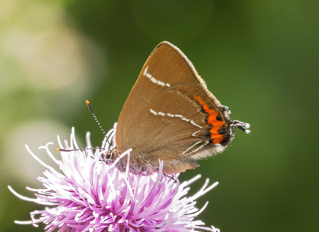 White-letter Hairstreak - Brockholes, Lancashire
