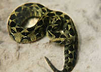 Ethiopian_Mountain_Adder_snake