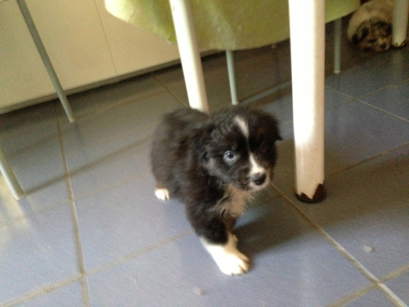 Australian Shepherd - puppy male Tri Black