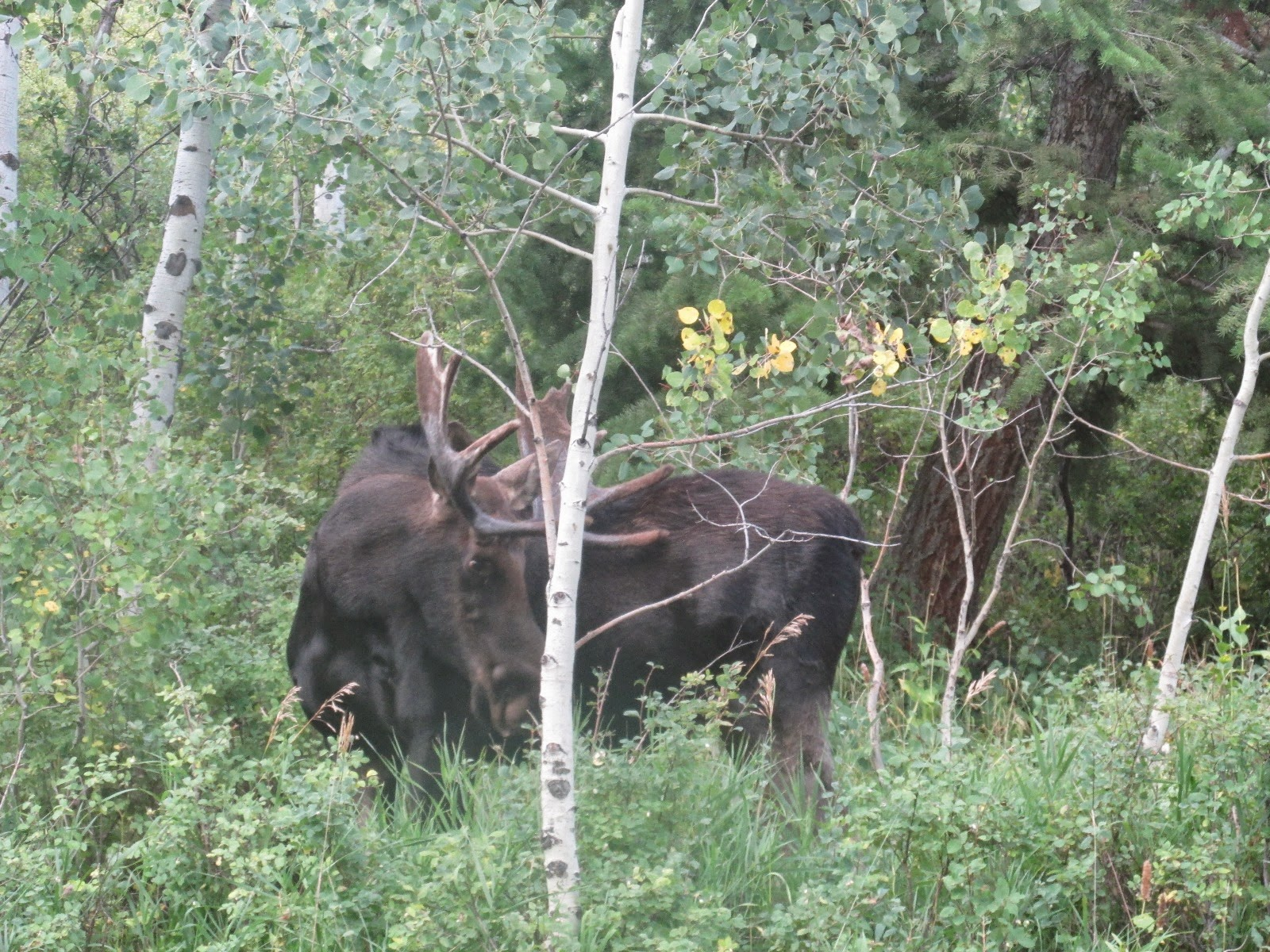 the bull moose analysis Then on his darkened eyes was projected the vision of the moose—the old bull moose—the was it not the law of lifeq7 to support analysis of what the text.