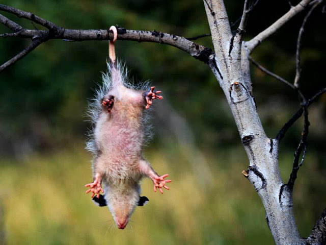 opossum amazing animal interesting facts photos the wildlife. Black Bedroom Furniture Sets. Home Design Ideas