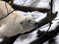 Polar Bear (Credit: Reuters/Toussaint Kluiters) Click to Enlarge.