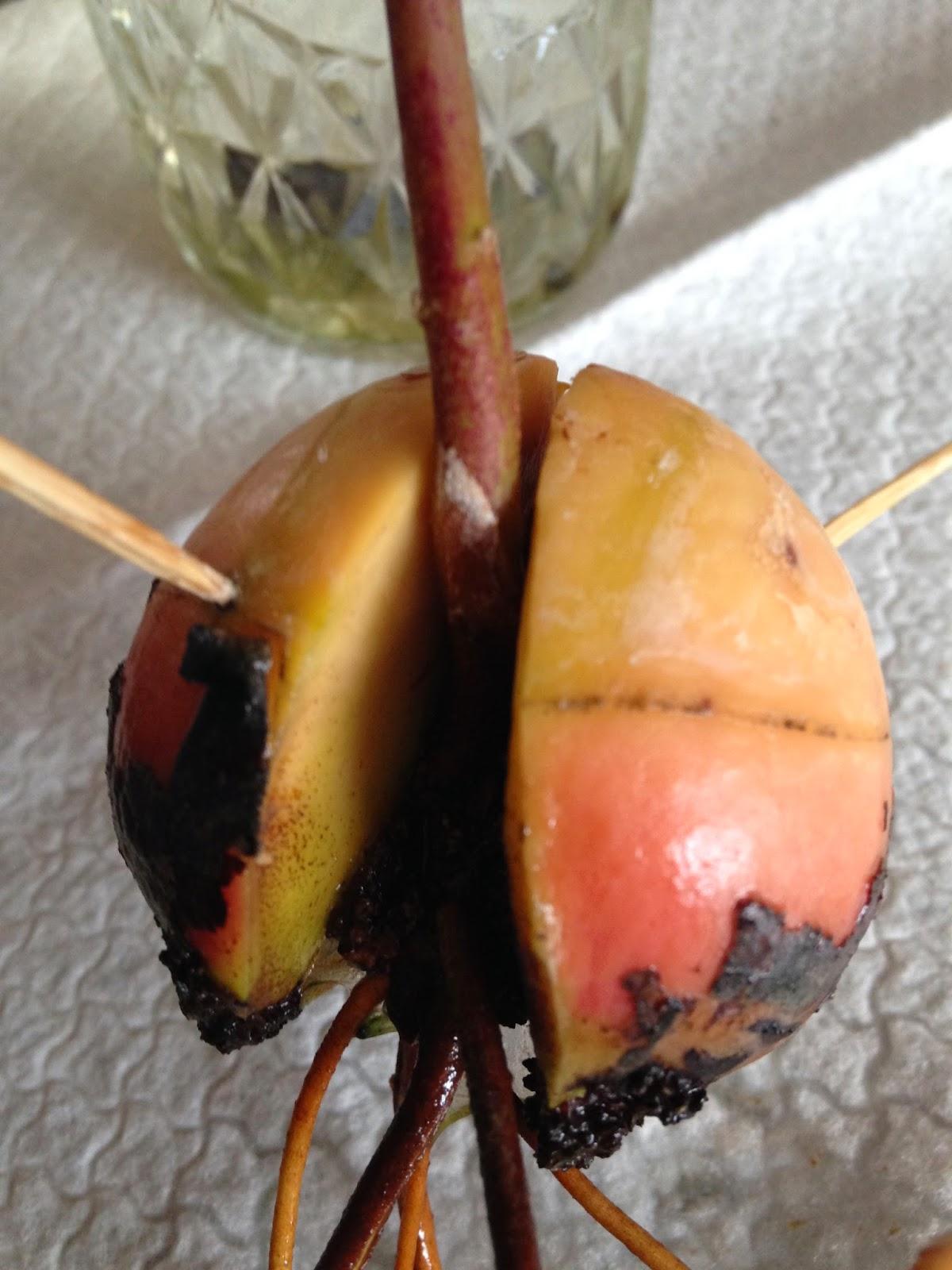 Kitchen Tip How To Start An Avocado Tree Turnips 2 Tangerines