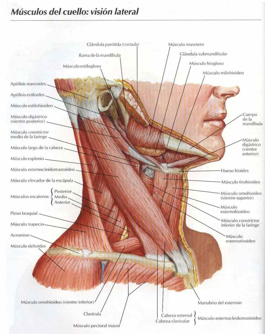 Famoso Músculos De La Ingle Regalo - Imágenes de Anatomía Humana ...