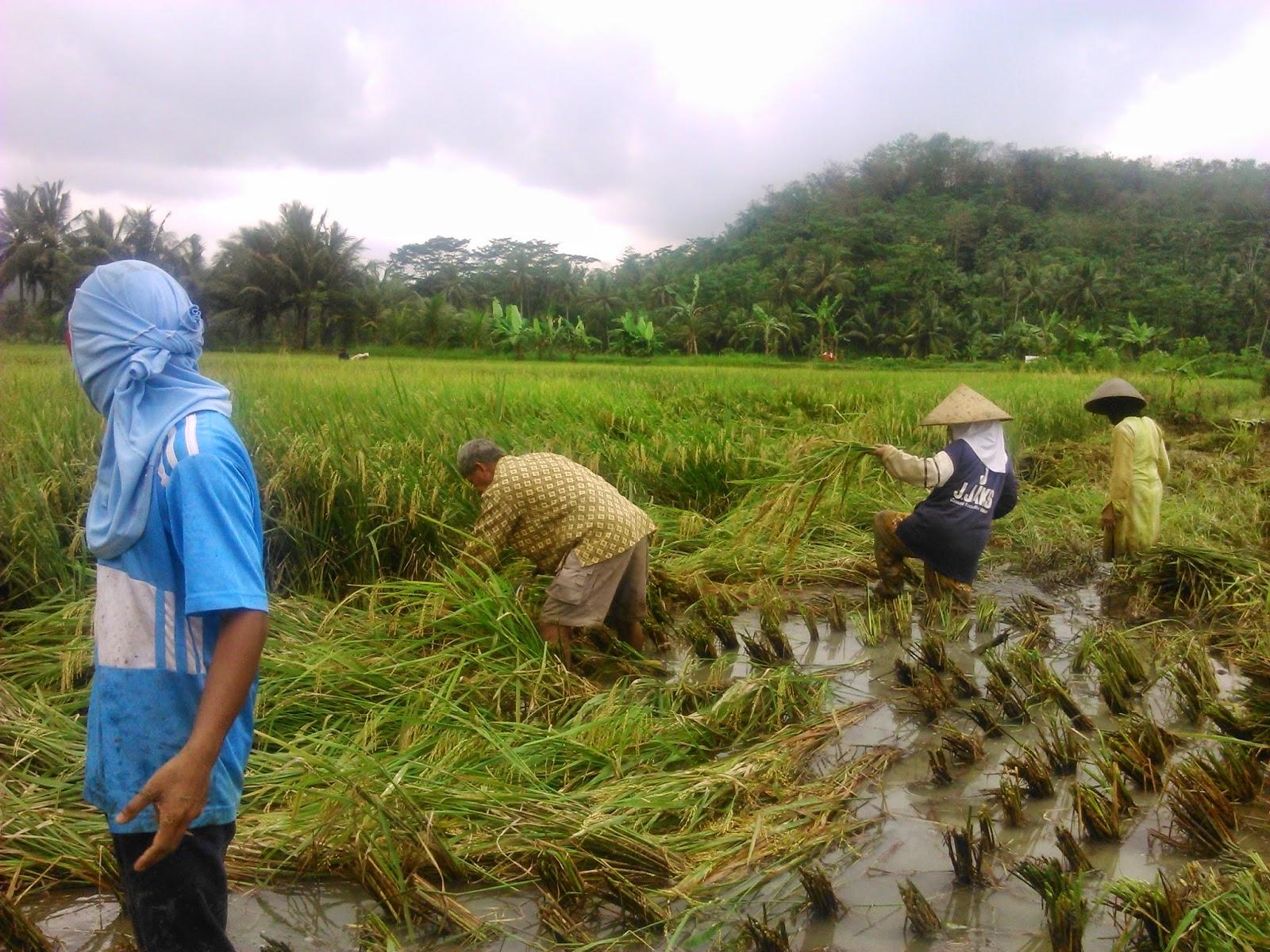 kendala dalam memanen padi