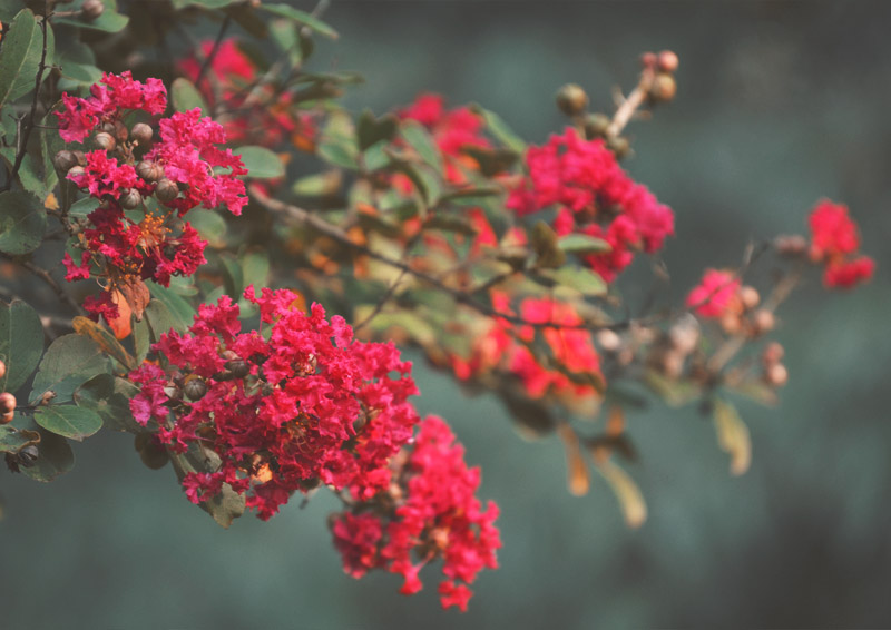 The Flying Clubhouse: Summer's End - Crepe Myrtle