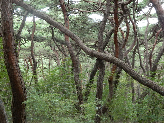 Crooked trees at the base of the mountain in Korea