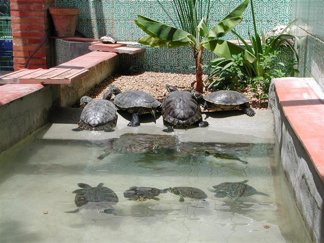 Estanque para tortugas las tortugas acaban se unen en pia for Estanque de tortugas
