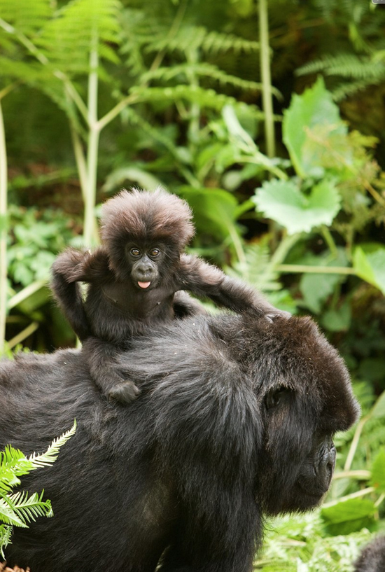 Safari Fusion blog | Happy Mother's Day | A very cheeky baby gorilla hitching a ride in the Virunga Mountains