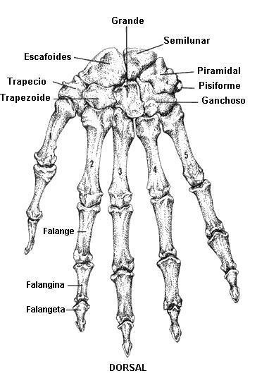 anatomia basica en imagenologia: Brazo y Mano