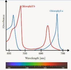 photosynthetic action spectrum