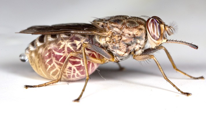 disease caused by parasite of genus trypanosoma American trypanosomiasis, or chagas disease, is caused by trypanosoma cruzi  parasites in latin america and is transmitted by the triatomine.