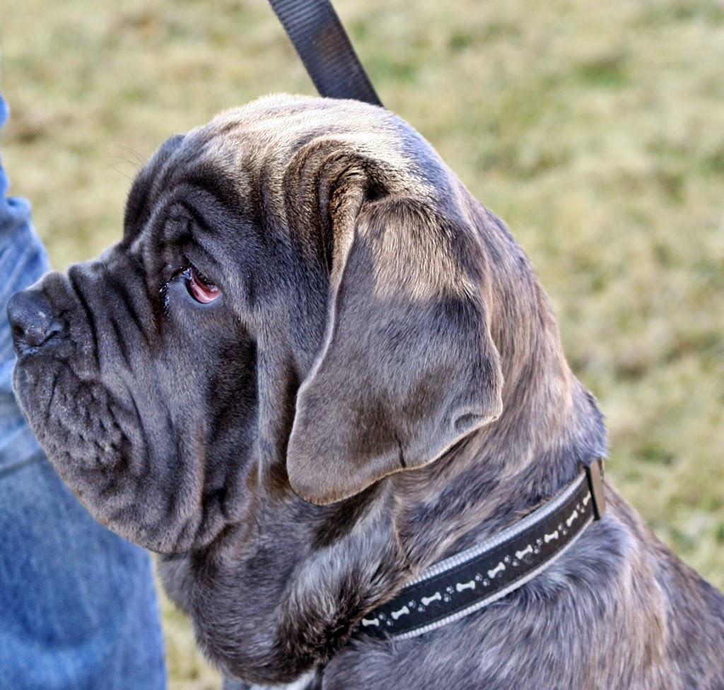 neapolitan mastiff puppy pictures