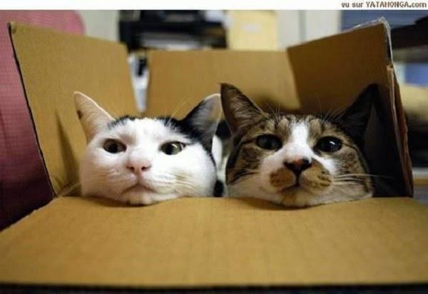 Photo deux chats dans la boite