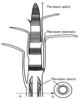 jaringan tumbuhan, meristem apikal, interkalar, lateral