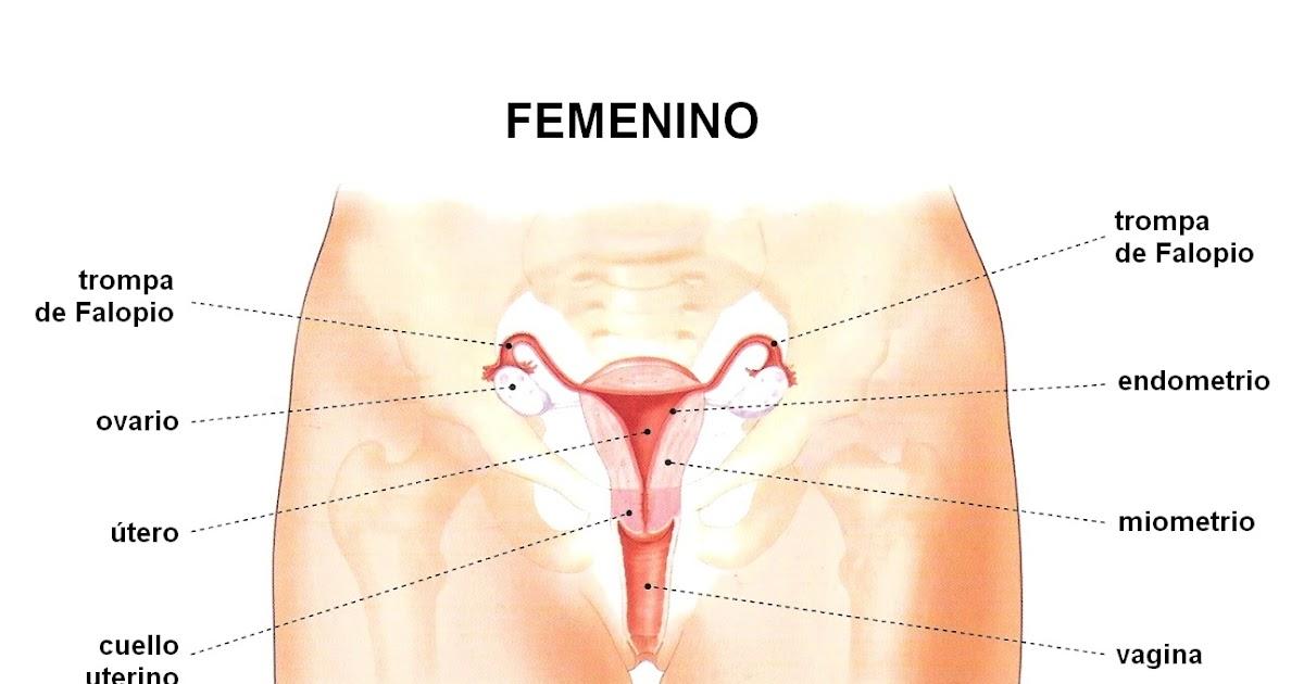 Vistoso Imagen Del Diagrama Del Sistema Reproductor Femenino Ideas ...