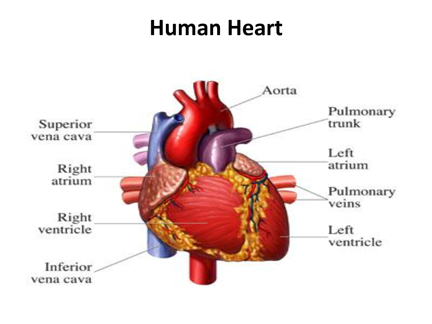 Gross Anatomy Of Human Heart Govt Exams