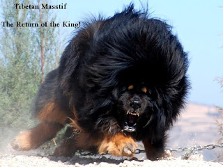 Tibetan Mastiff - The Return of the King, Tibetan Mastiff Videos, Tibetan Mastiff Angry