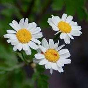 Keluarga bunga aster ( asteraceae ) sering disebutjuga dengan bunga ...