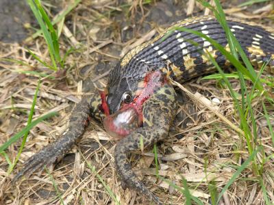 Snakes snakes eating animals for What do baby garden snakes eat