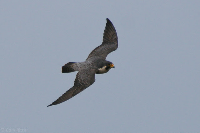 Peregrine Falcon upperside