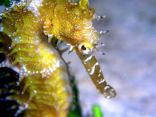 Sea Horse Wallpapers