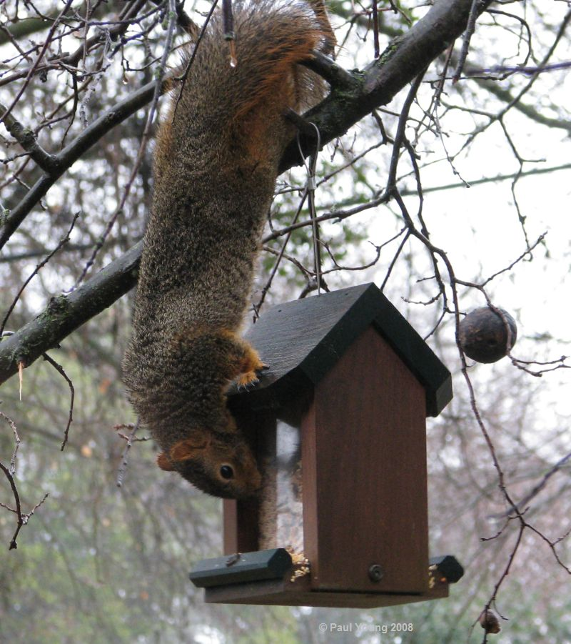 backyard critter watch: Tree Squirrels
