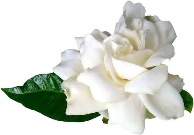 картинки белые лилии на белом фоне