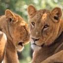 Lavovi životinje download besplatne slike pozadine za mobitele