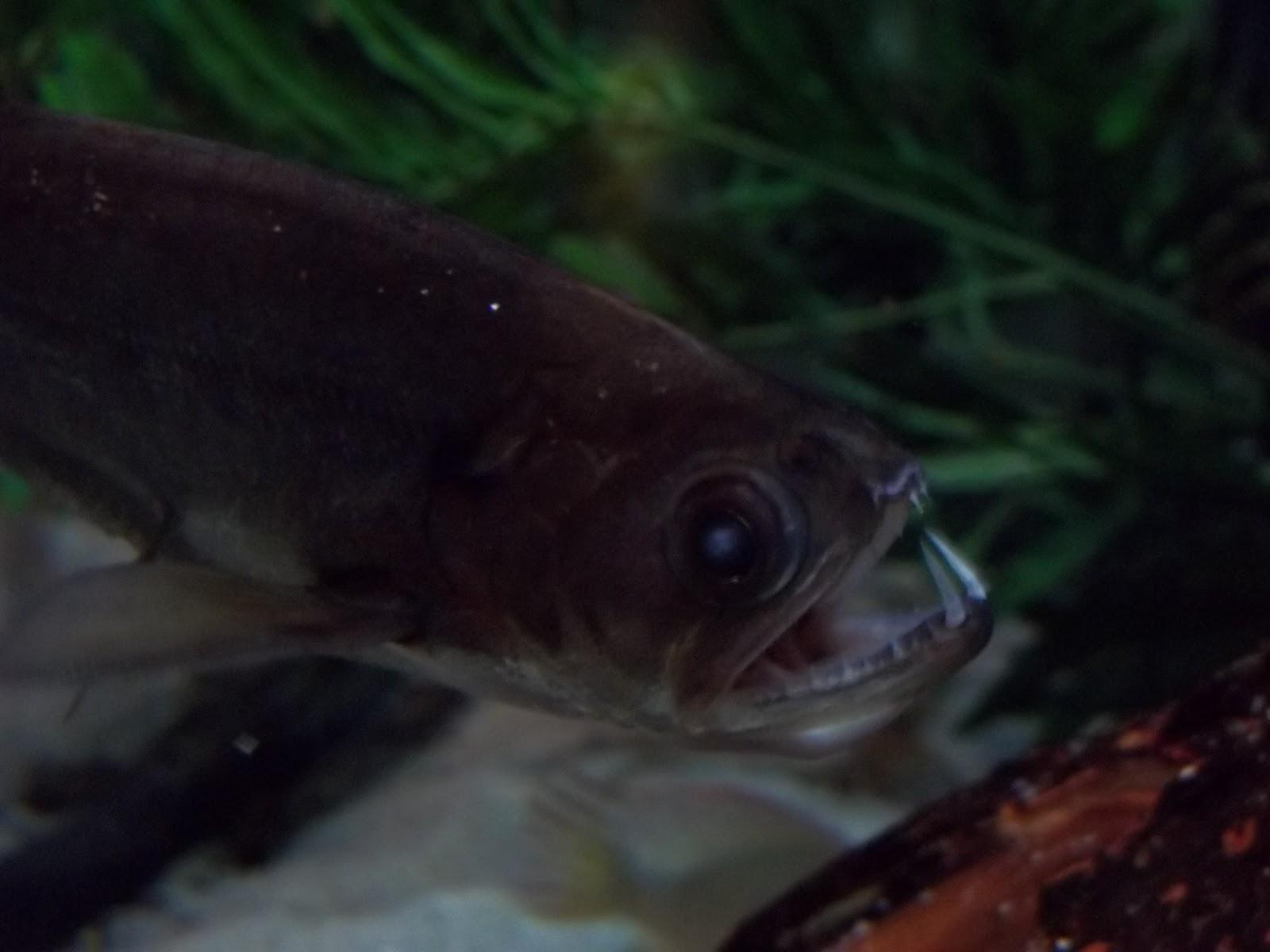 Bio geo nerd vampire at the living planet aquarium for Vampire fish for sale