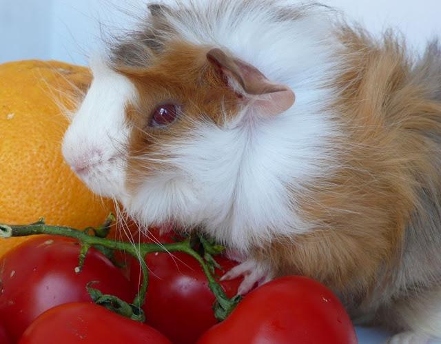 porcusor de guineea guinea pig