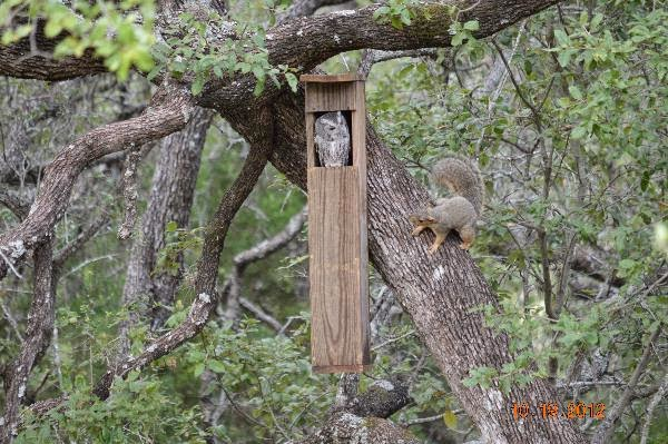 backyard birding.and nature: screech owl nest box and squirrels