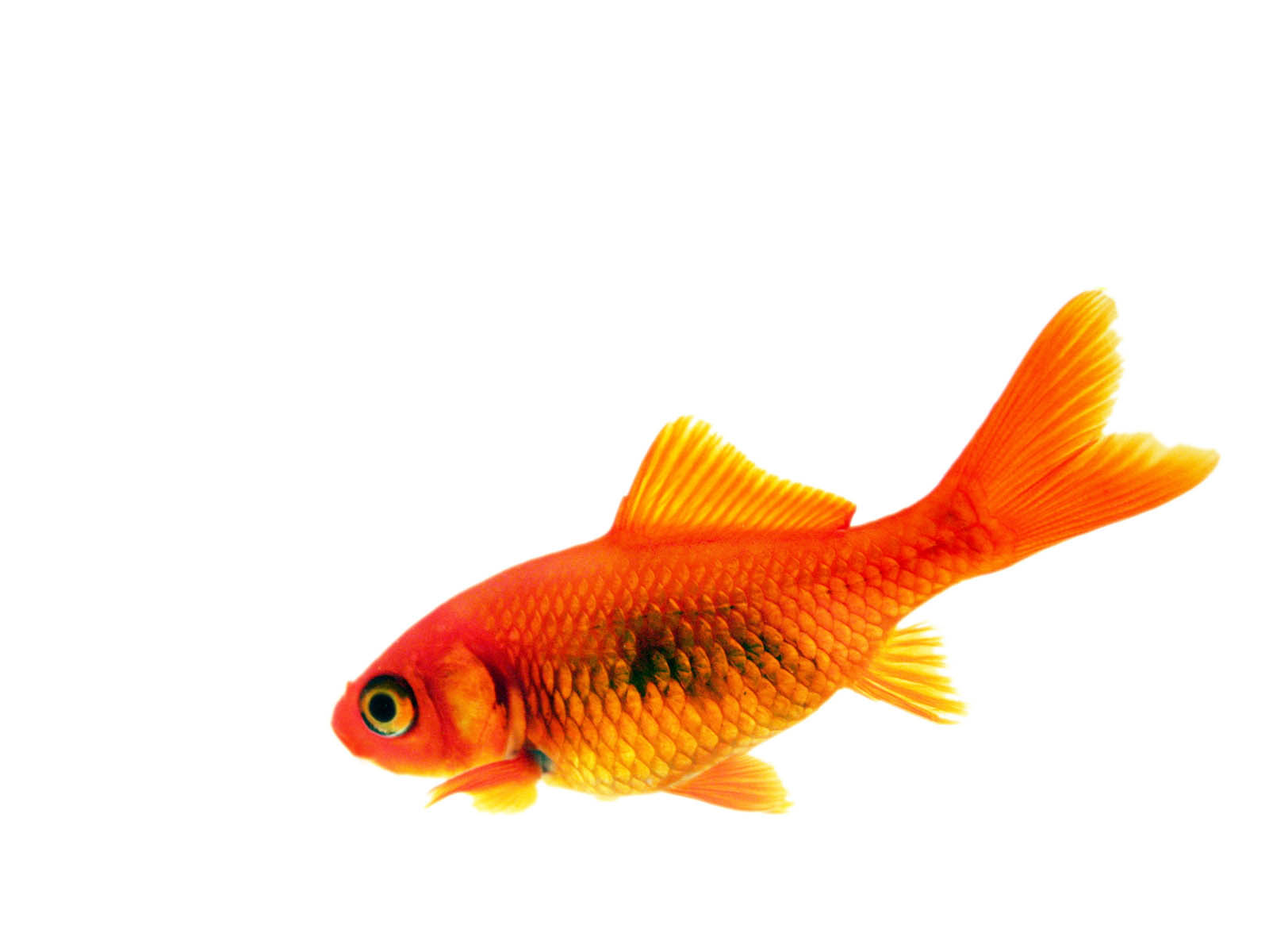 Gold Fishes Photos Gold Fish Pictu...