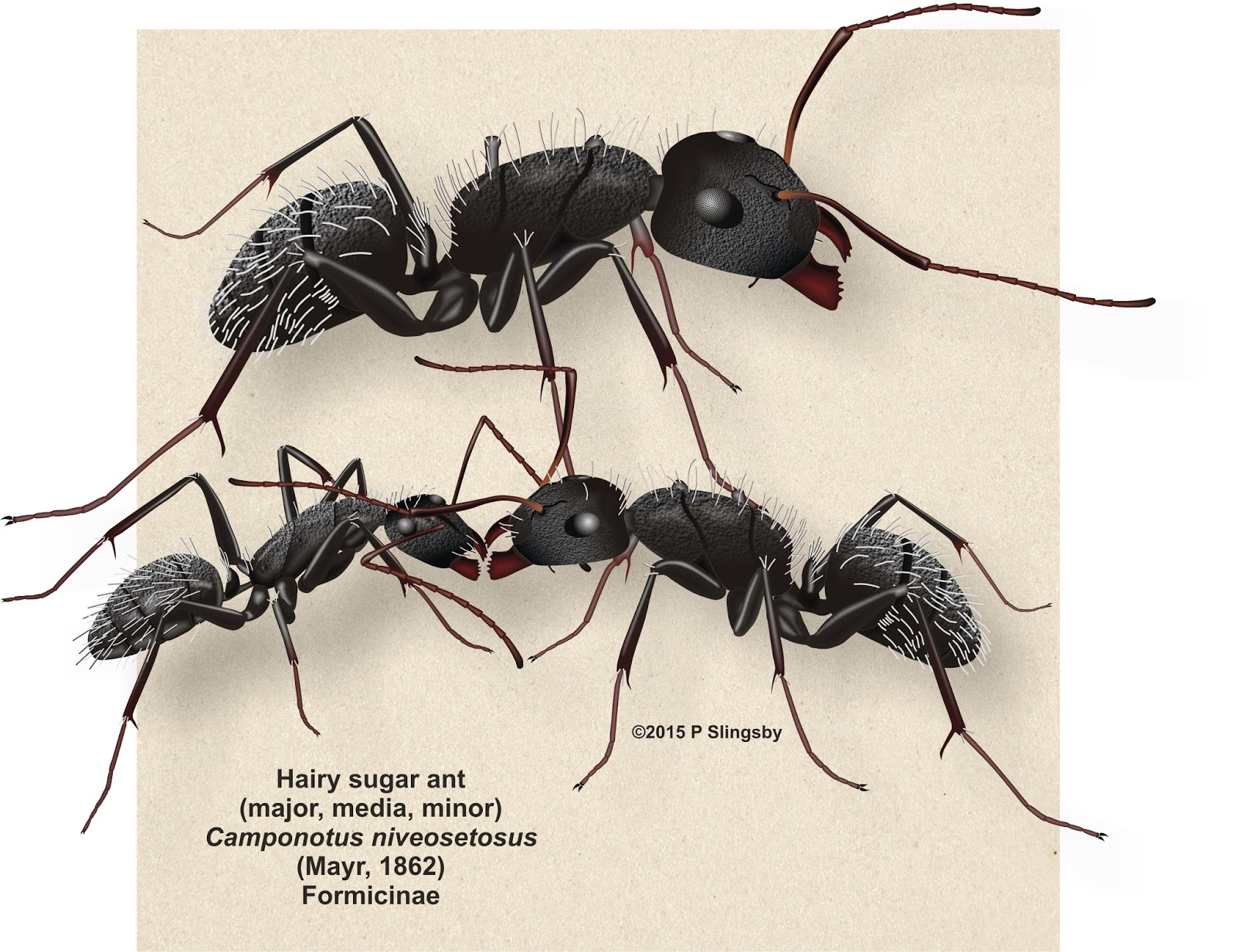 List of Synonyms and Antonyms of the Word: sugar ants