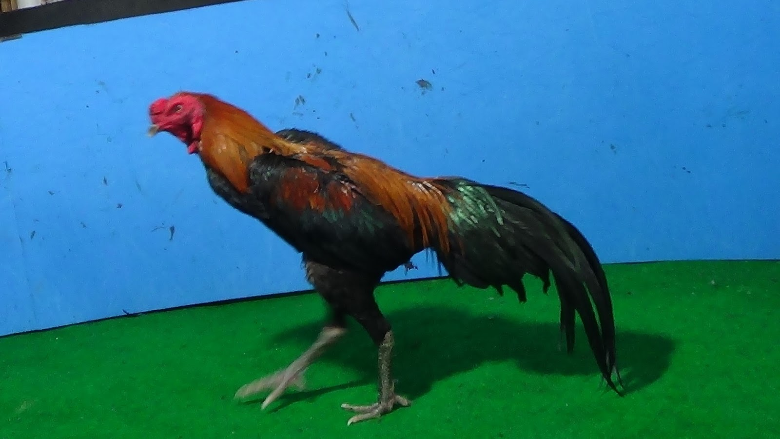 Portal Si Kaki Galih Vidio Ayam Petarung Jogjakarta