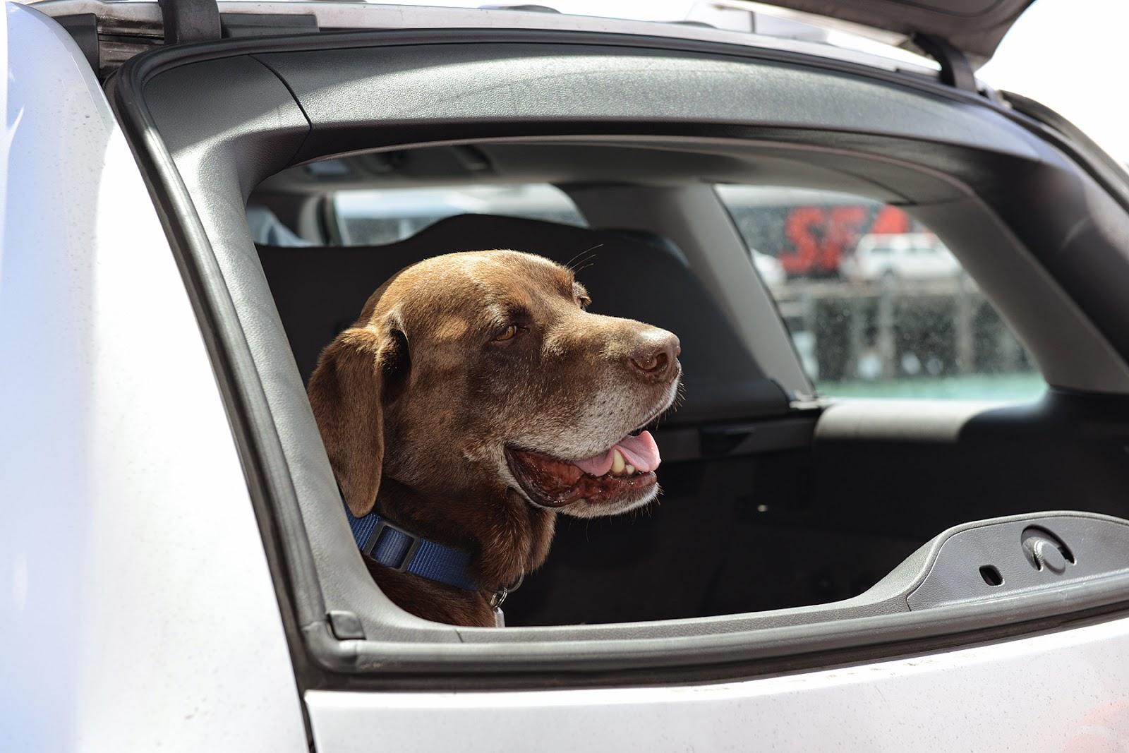 dog car travel