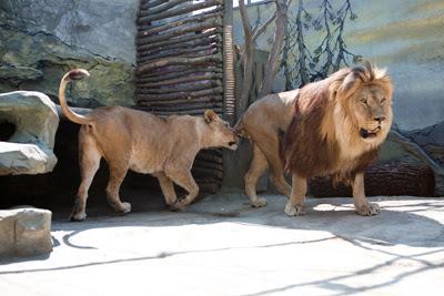 Фото Укринформ: лев и львица