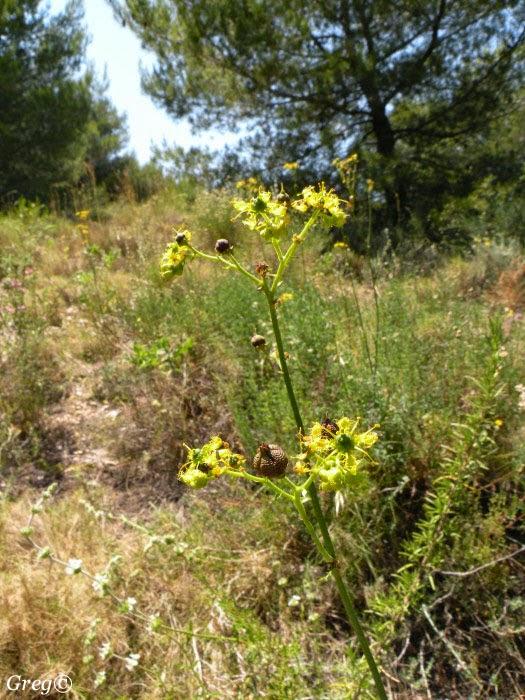 Flora Silvestre de Murcia: Ruta angustifolia